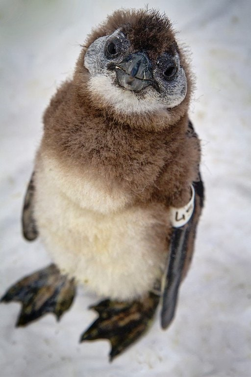 Baby Penguin South Africa