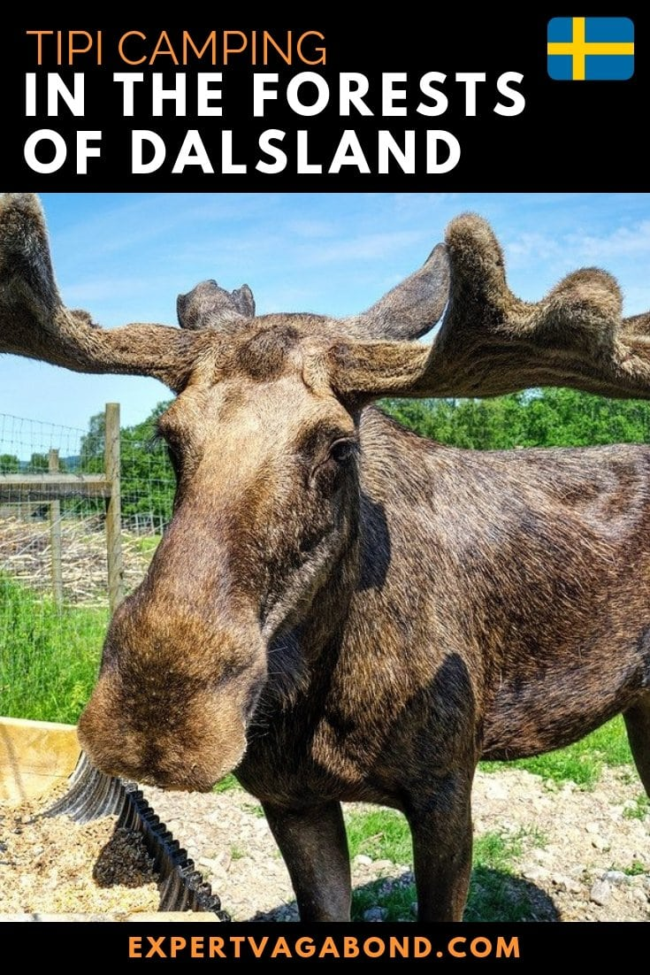 Thor happily munches away as I stroke his large velvety antlers. I've always wanted to pet a moose. Sweden has over 300,000 of them living in the wild. Click through to read more about Tipi camping in the forest of Dalsland, Sweden.