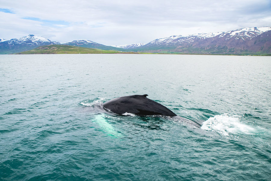 Whale Watching around Akureyri