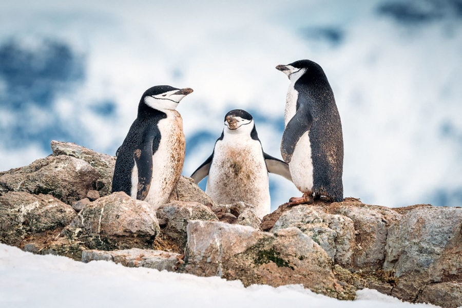 Dirty Chinstrap Penguins