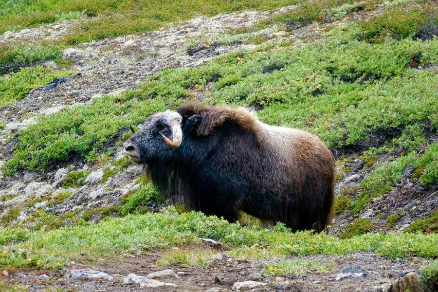 Arctic Circle Trail Musk Ox