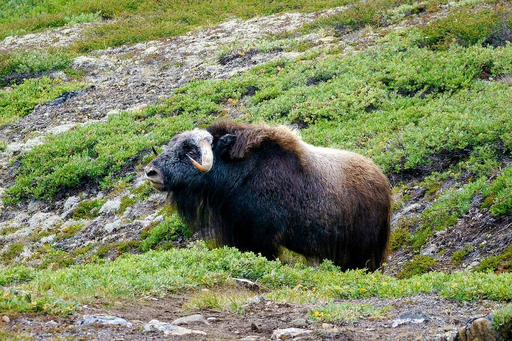 Arctic Circle Trail Musk Ox