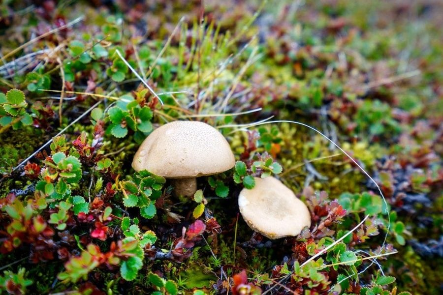 Mushrooms in Greenland