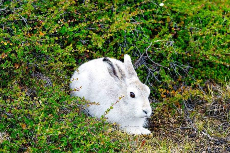 Arctic Hare Greenland