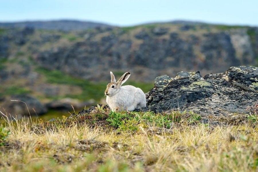 Rabbit Arctic Circle Trail