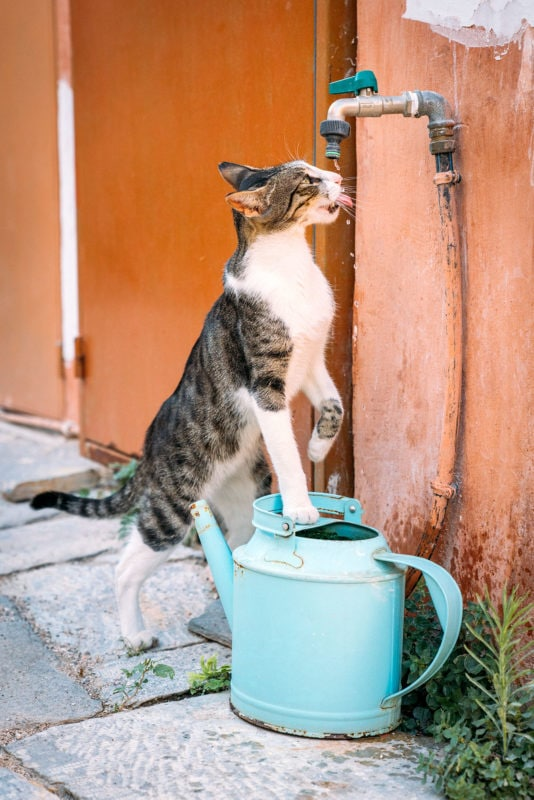 Stray cat drinking Water