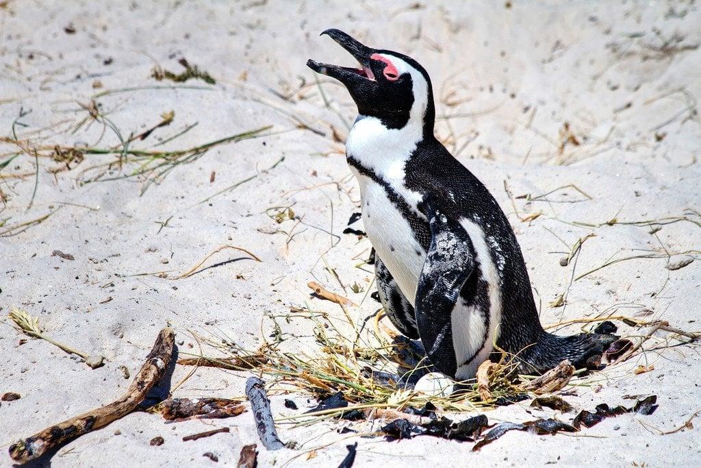 Penguin Boulder's Beach South Africa