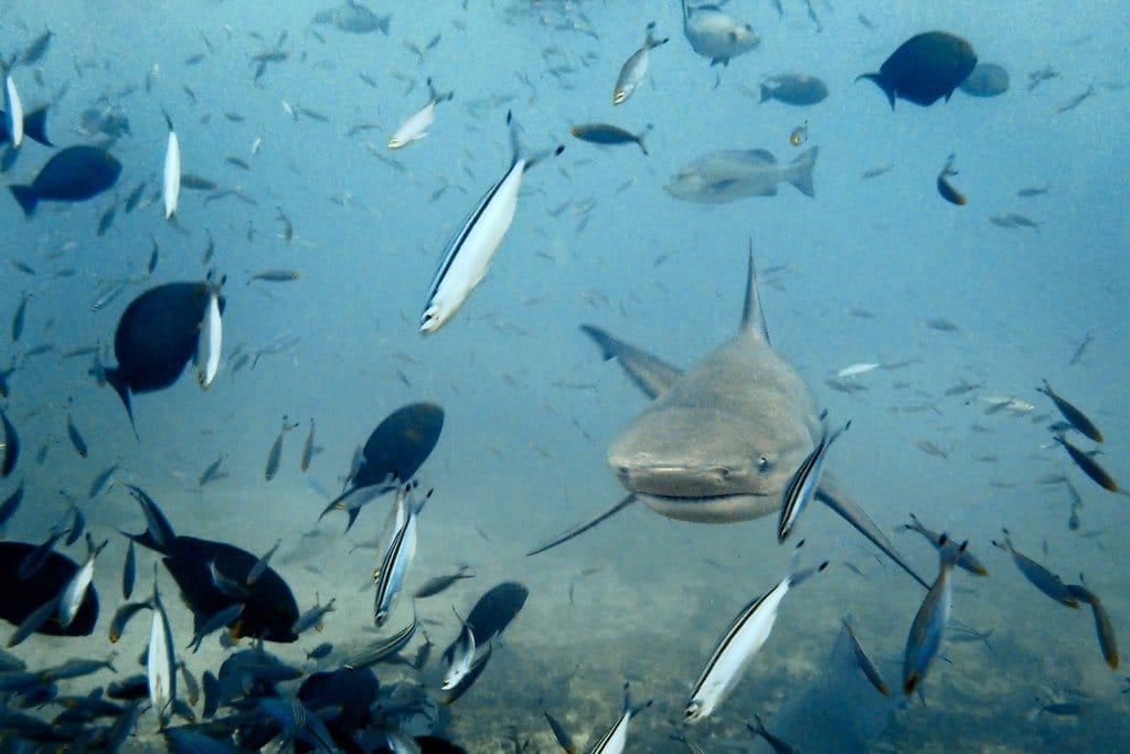 Bull Shark Beqa Fiji
