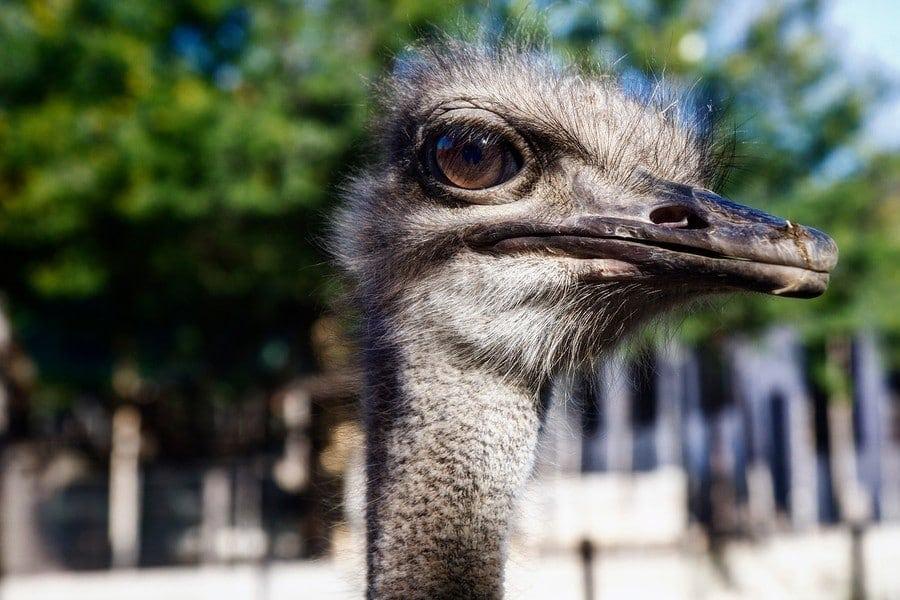 cango ostrich