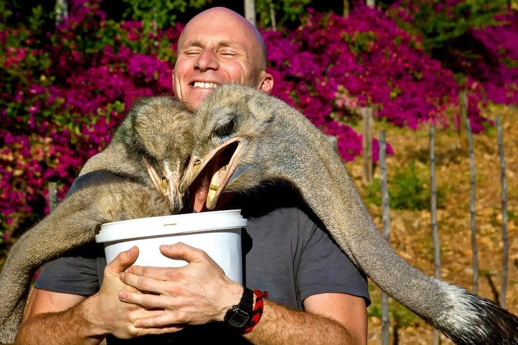 Ostrich Feeding South Africa