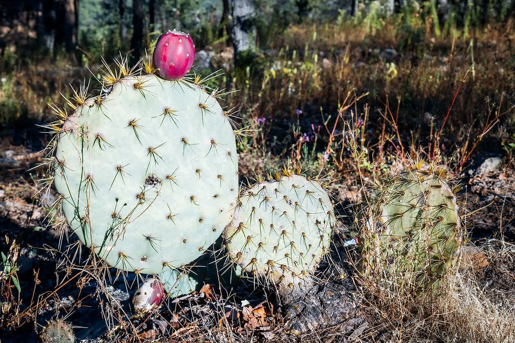 Cactus in Copper Canyon