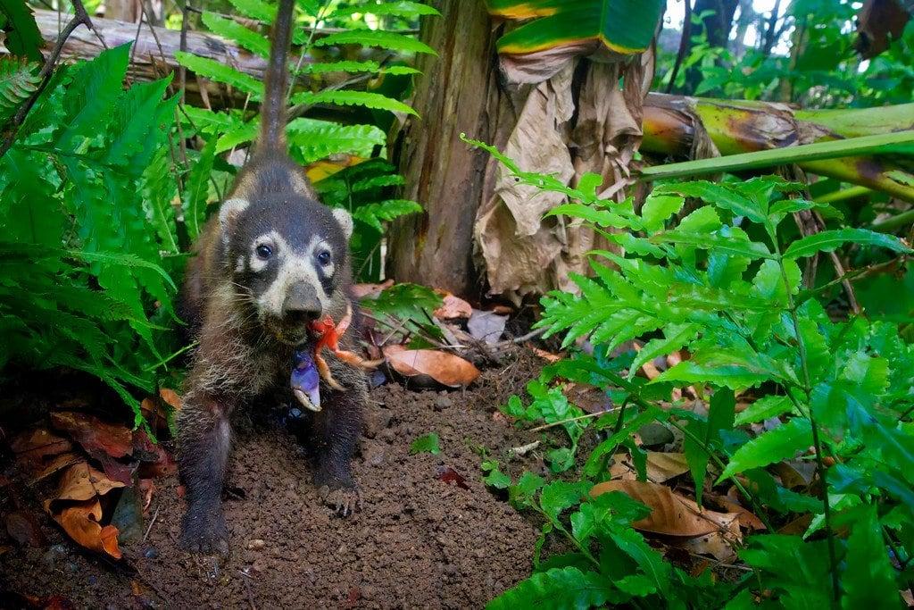 Coati in Corcovado Costa Rica