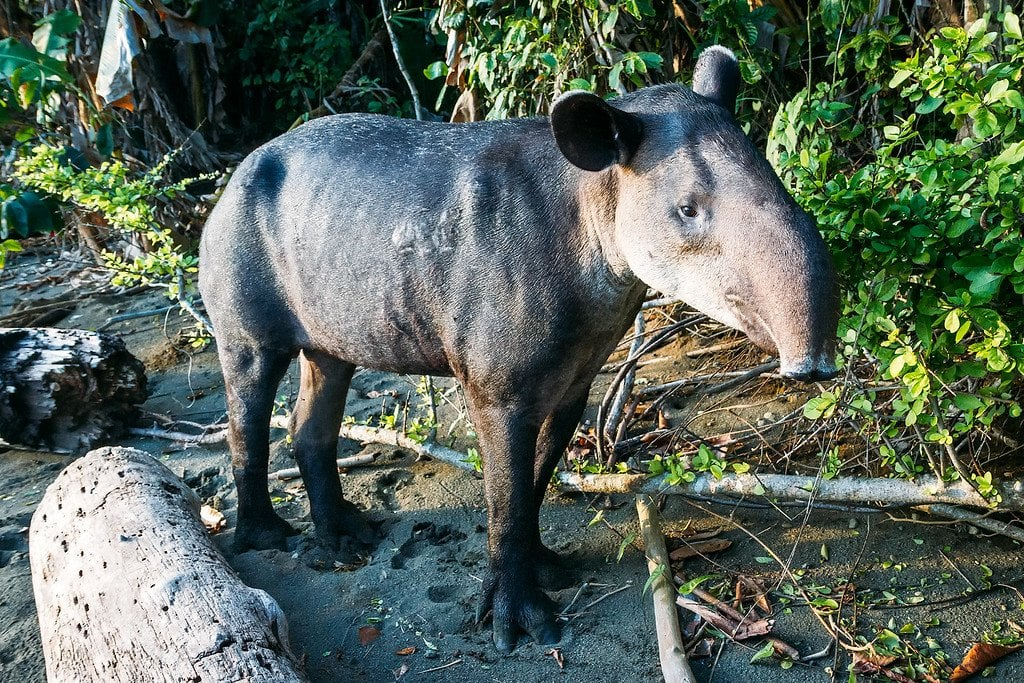 Bairds Tapir Corcovado Costa Rica