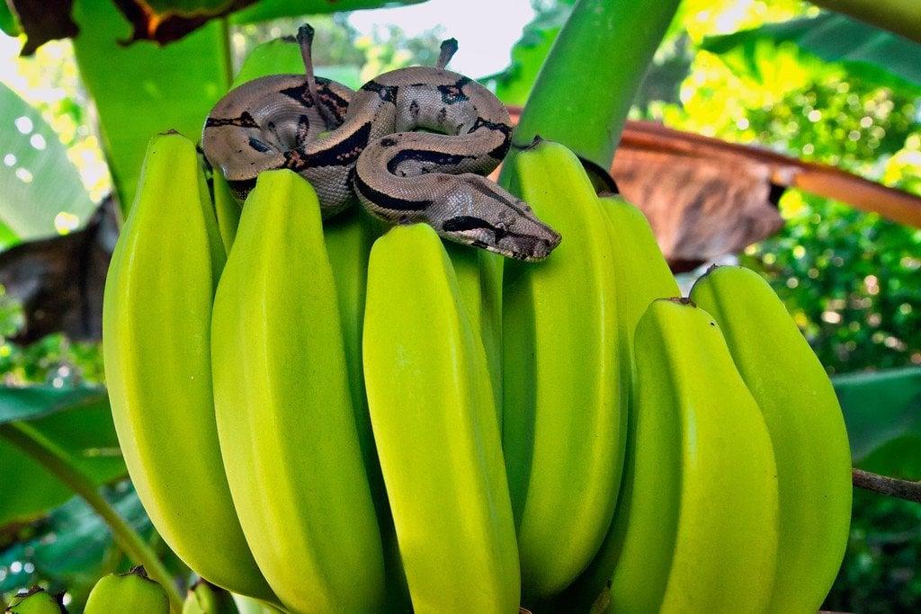 Snake in Corcovado Costa Rica