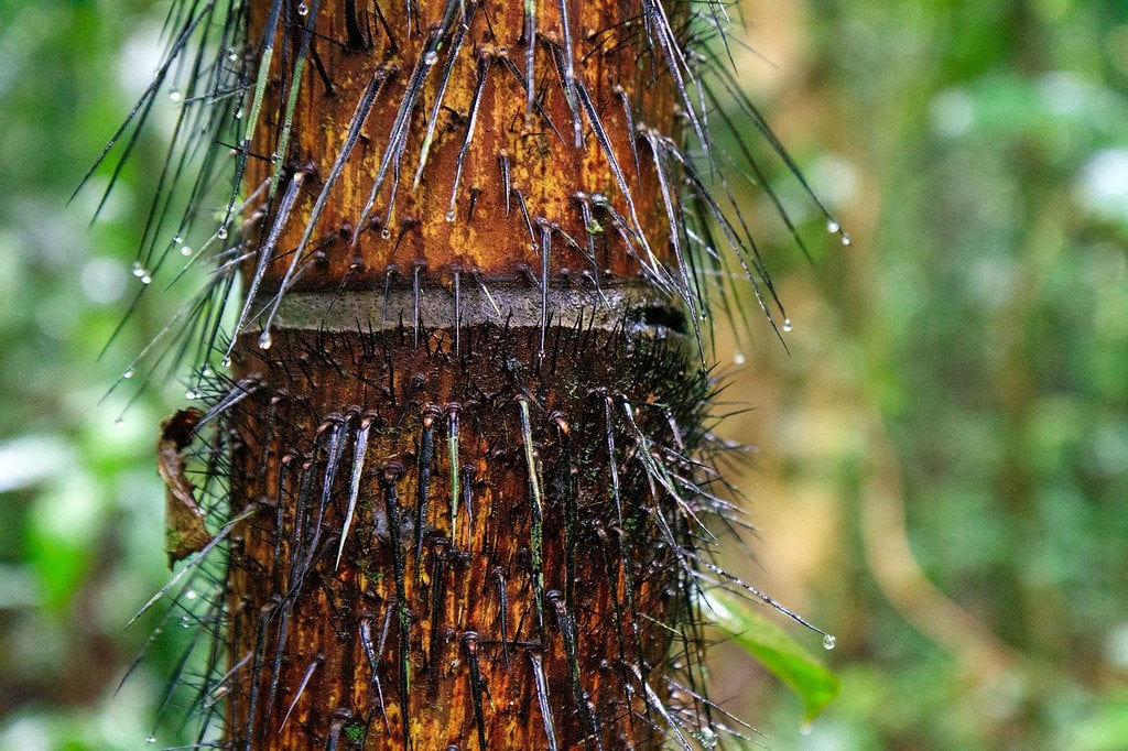 Black Palm Spikes Darien Panama