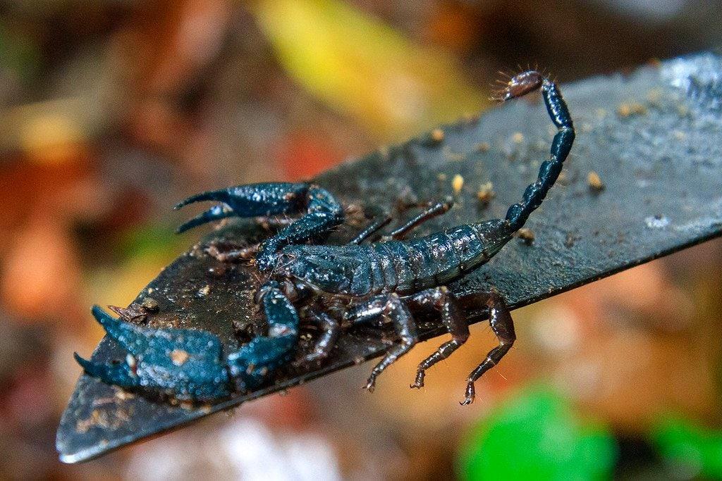 Scorpion Darien Panama