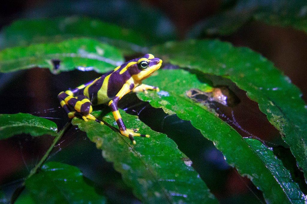 Darien Poison Dart Frog Panama