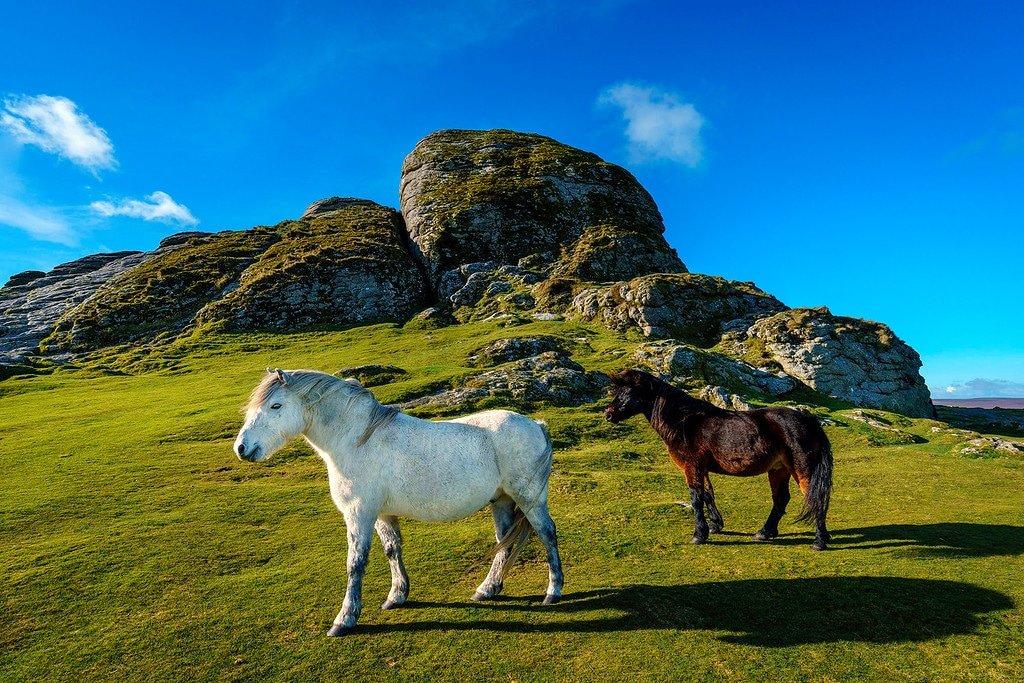 Dartmoor Ponies at Haytor