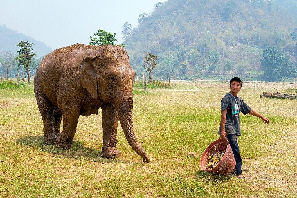Elephant chasing bananas