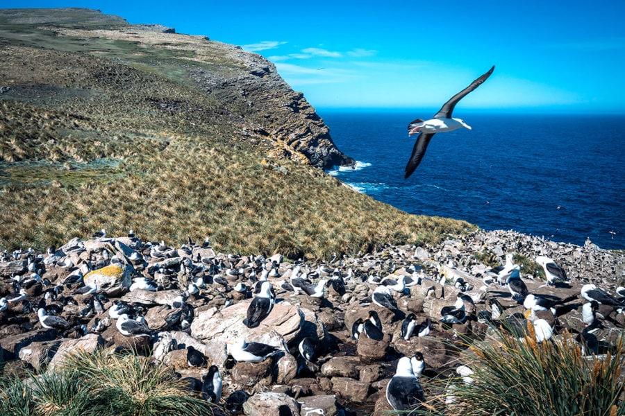 Albatross Colony Falkland Islands