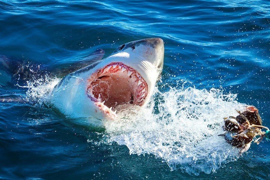 Gansbaai Great White Shark