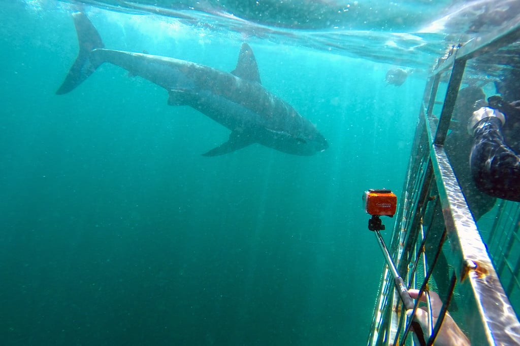Cage Diving South Africa