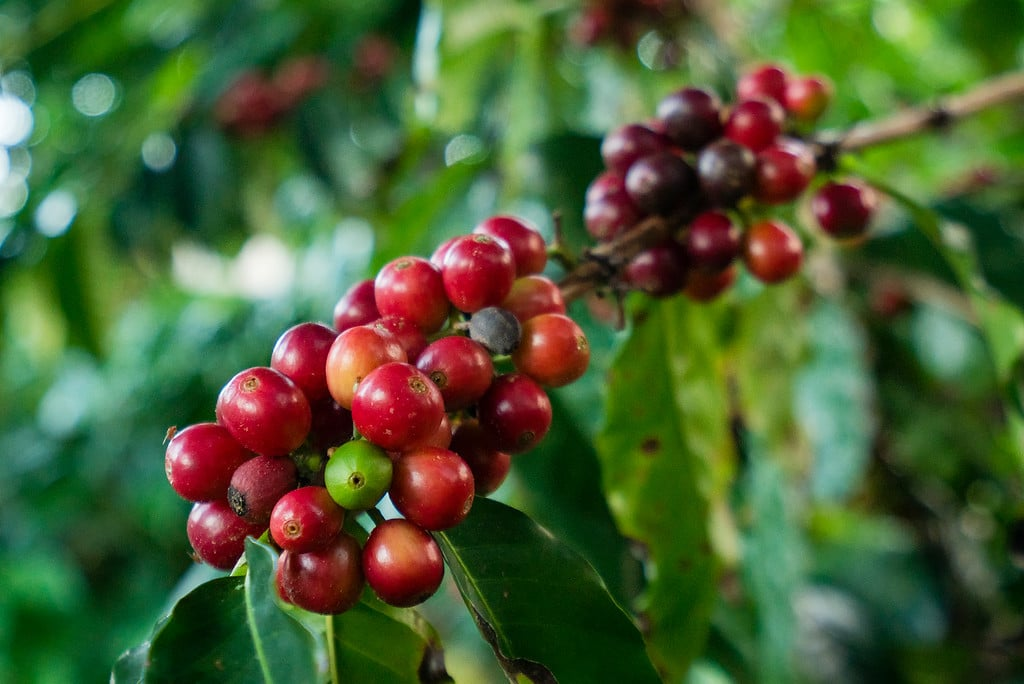Kona Coffee Farms