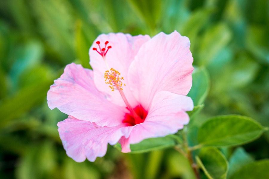 Hawaiian Tropical Flower