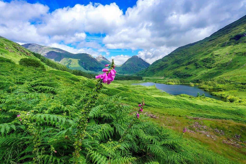 Foxglove Flowers Highlands