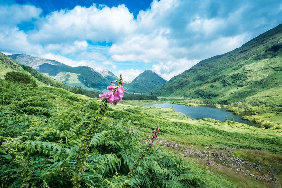 Foxglove Flowers in Scotland
