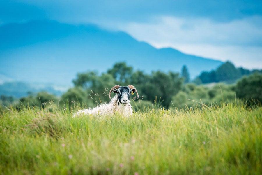 Sheep hiding in grass
