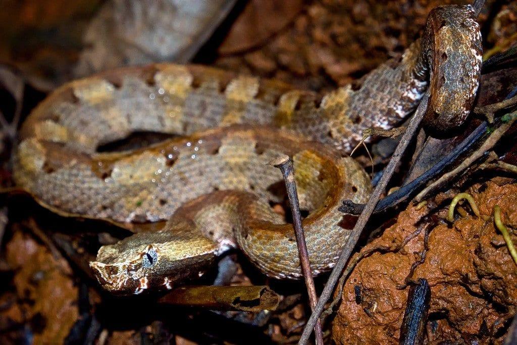 Pitviper Snake in Costa Rica