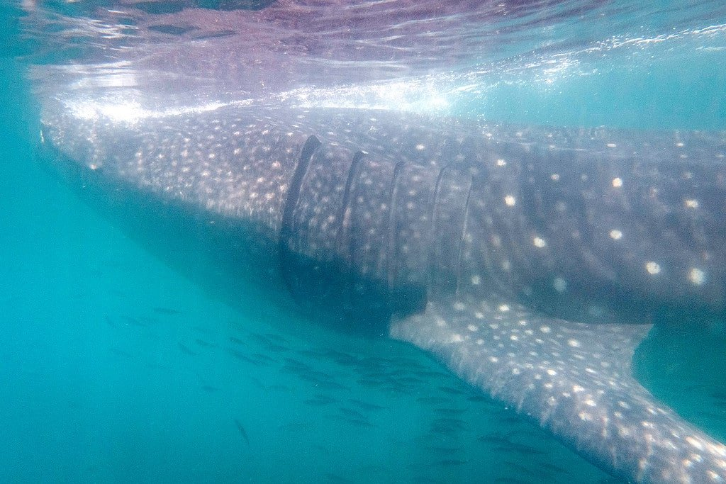 Whale Sharks in Mexico's Yucatan