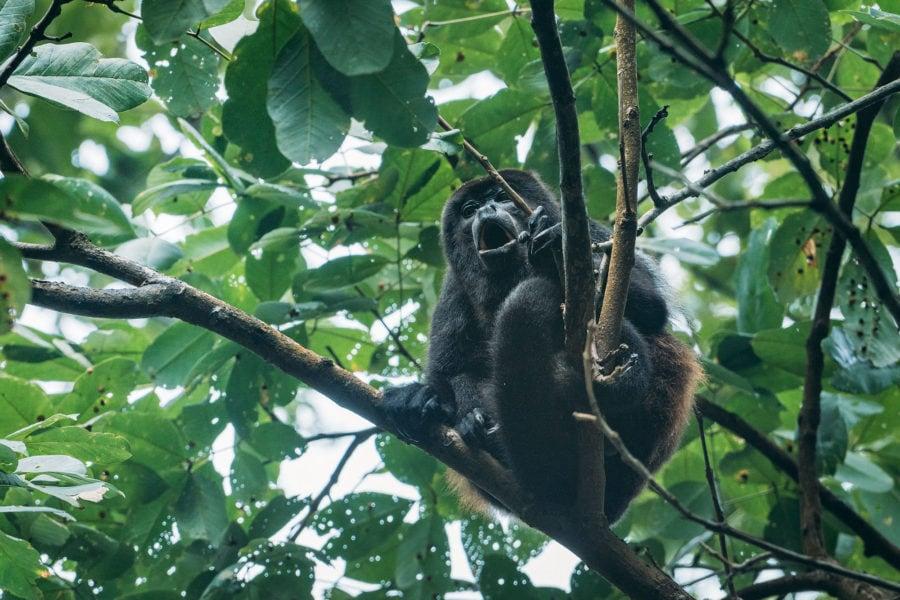 Howler Monkey Screaming