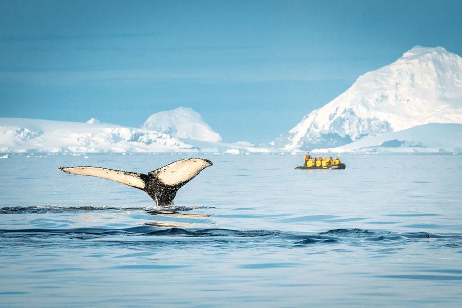 Humpback Whales off Antarctic Peninsula