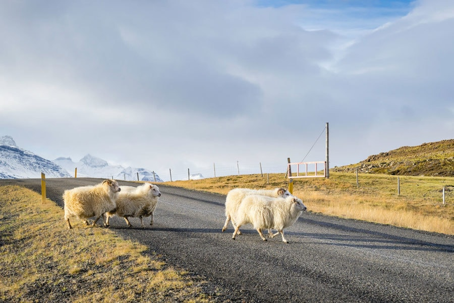 Sheep Crossing the Road