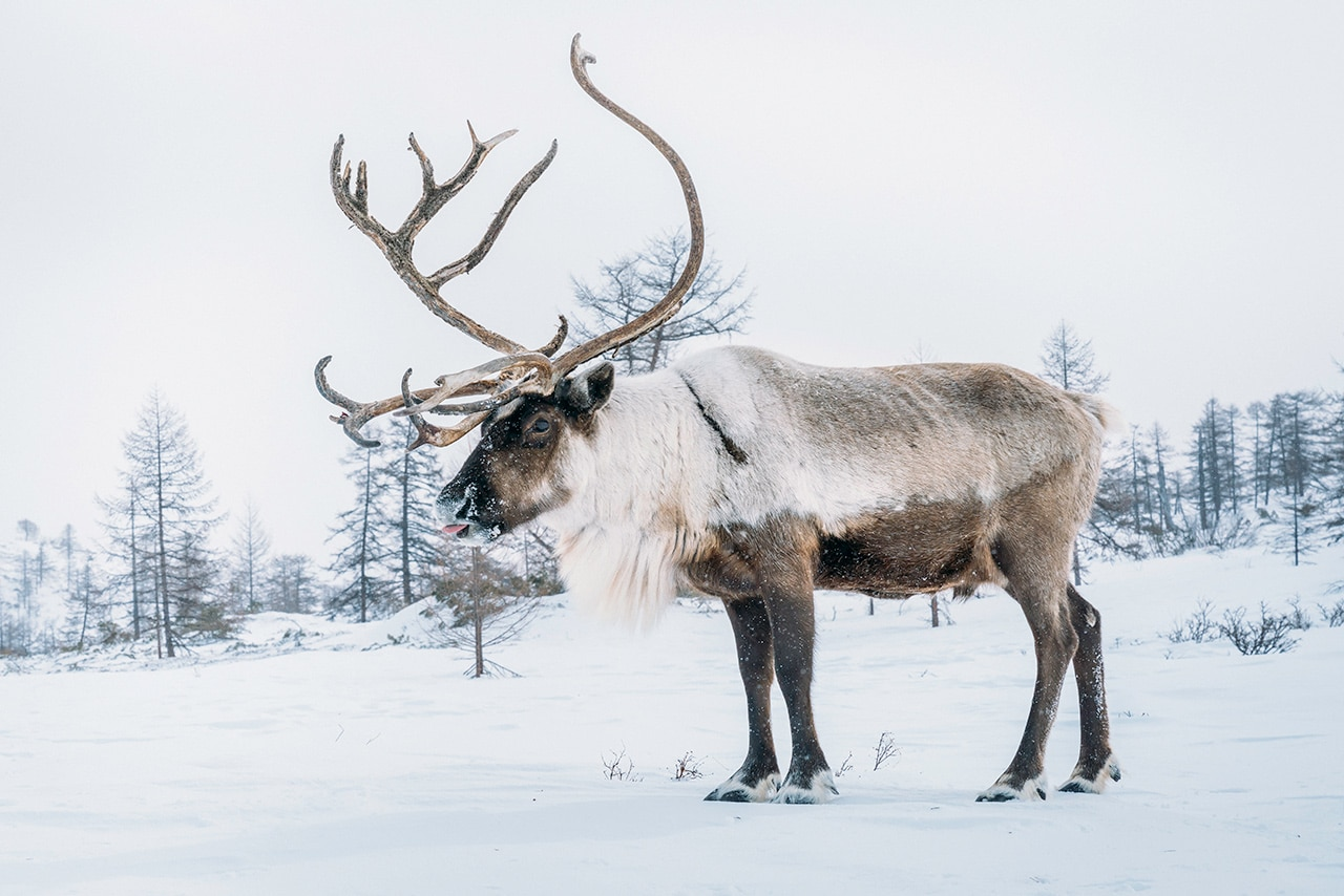 Reindeer Herding in Kamchatka