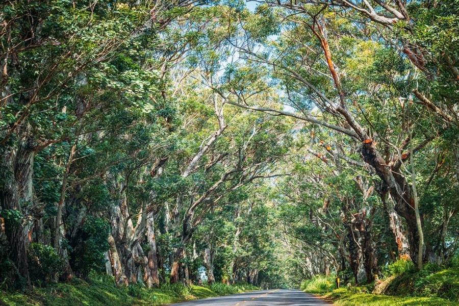 Kauai Activities: Tree Tunnel