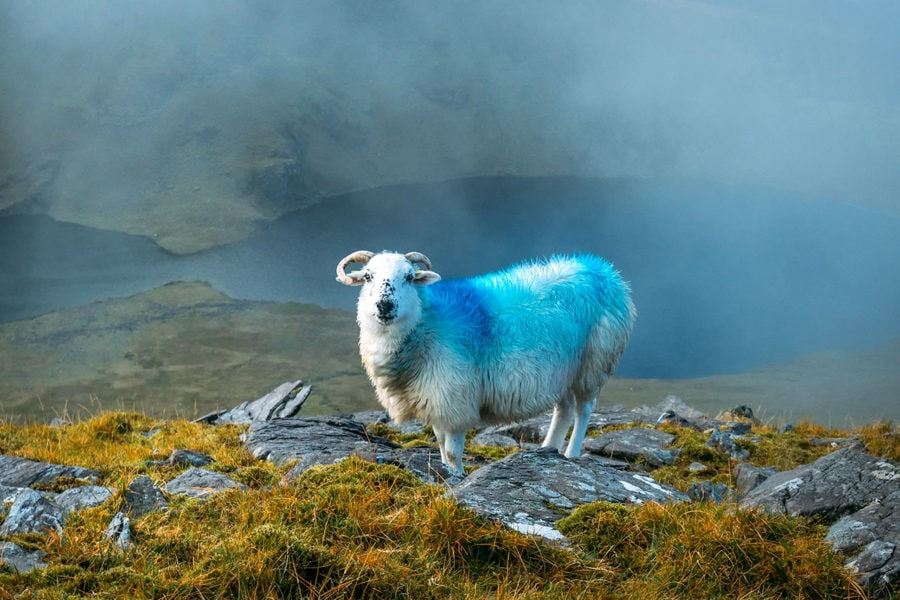 Mountain Climbing Sheep