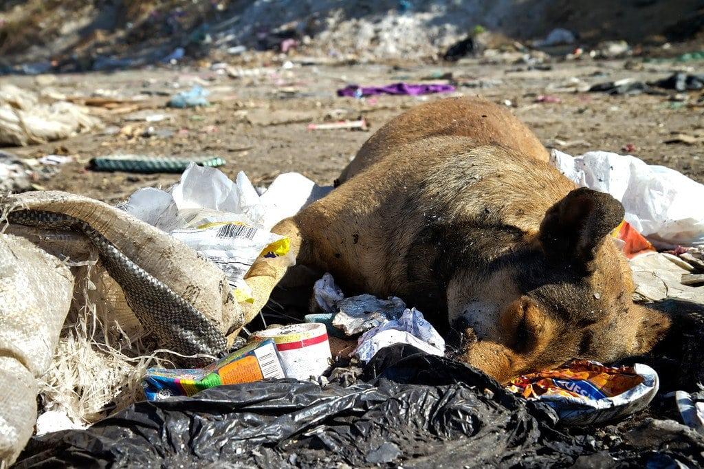 Managua Nicaragua La Chureca Dead Animals