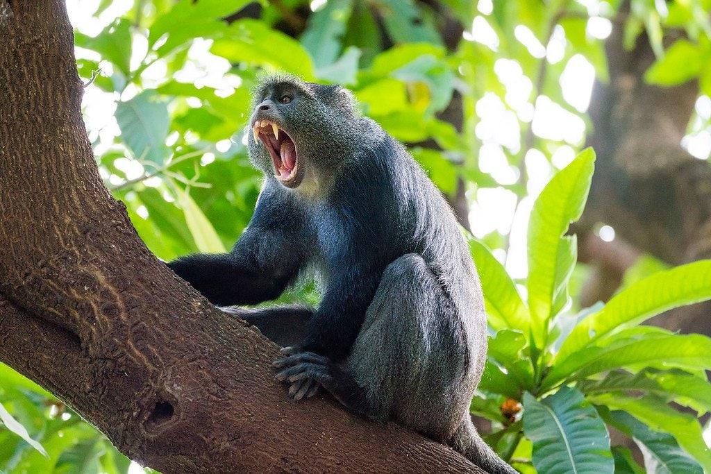 Blue Monkey Lake Manyara