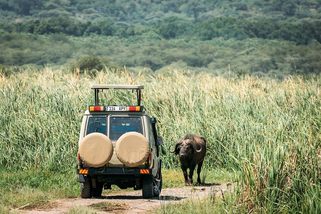 Cape Buffalo Tanzania Photos