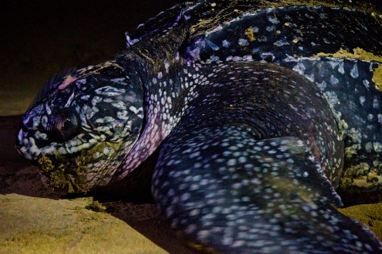 Leatherback Turtle South Africa