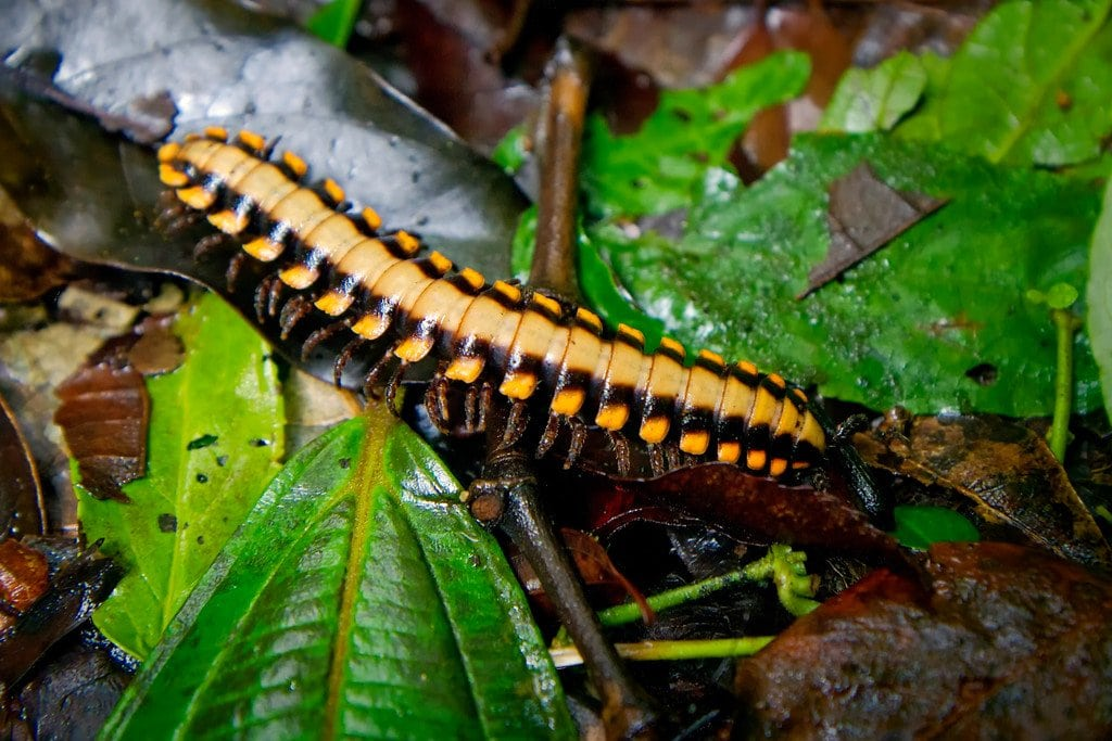 Cyanide Poison Excreting Millipede