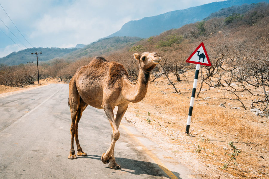 Camel Crossing Sign in Morocco