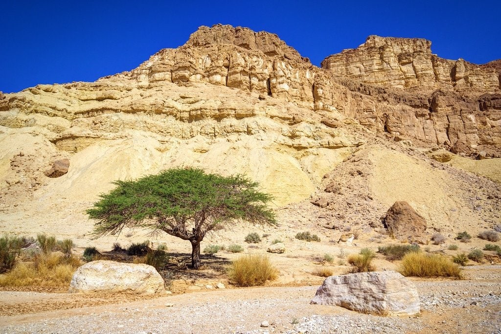 Acacia Tree Negev Israel