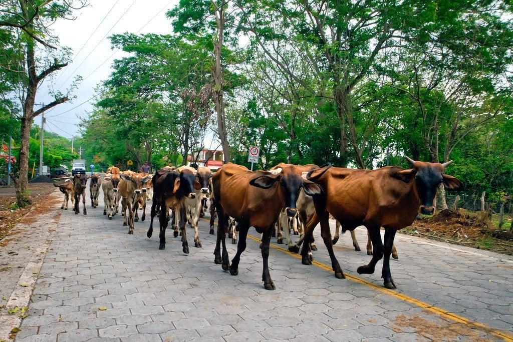 Ometepe Nicaragua Cows