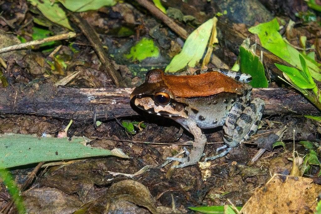 Bull Frog in Costa Rica