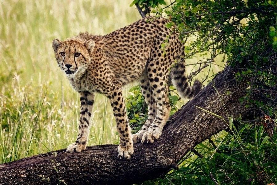 phinda safari aggressive cheetah