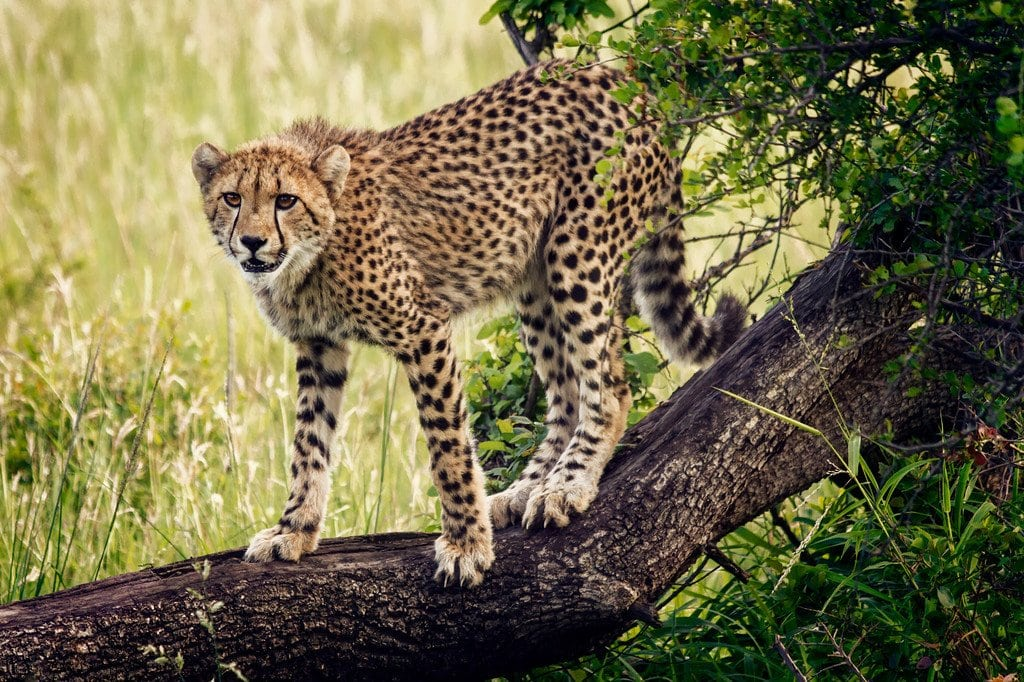 Young Cheetah Hunting South Africa